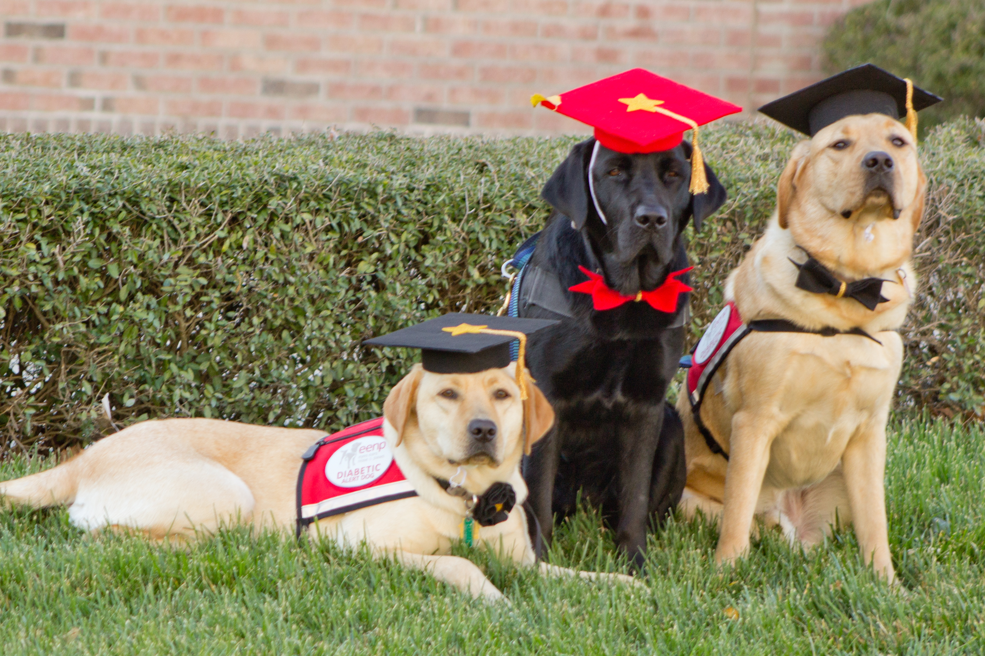 Three Labrador Retrievers in vest, wearing mortarboards and bowties